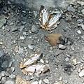 南安瀑布旁的石牆蝶
