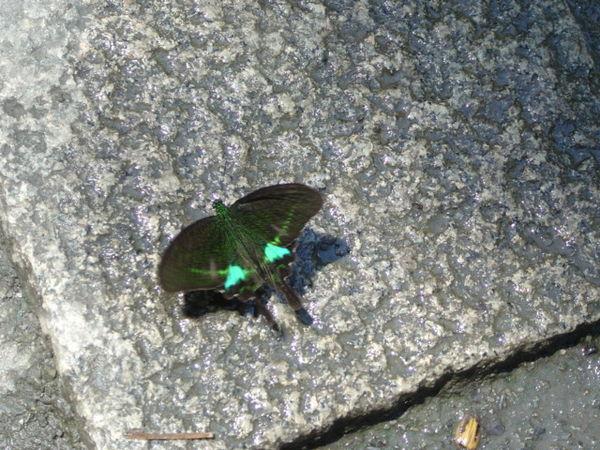 大琉璃紋鳳蝶 有著藍綠色斑