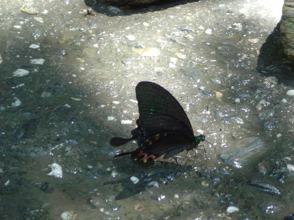 大琉璃紋鳳蝶 側面有半月紅斑