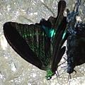 大琉璃紋鳳蝶 翅佈滿黃綠色鱗片