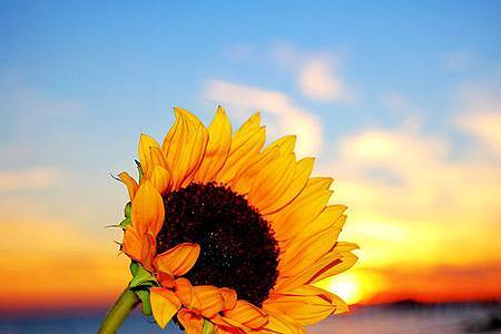 sunflower-flower-colorful-1458307-o.jpg