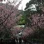 粉紅櫻花樹