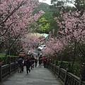碧山巖階梯兩旁櫻花
