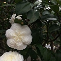 白六角茶花