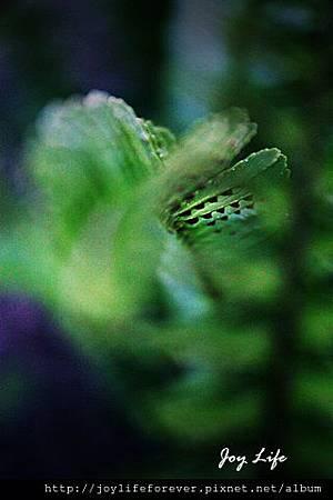 腎蕨/羊齒 (Tuberous Sword Fern) 3