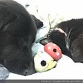 L'CHIC CA-TUMBLE不倒翁漏食玩具-紅蘑菇_200117_0001.jpg