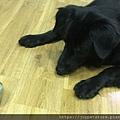 L'CHIC CA-TUMBLE不倒翁漏食玩具-紅蘑菇_200117_0009.jpg