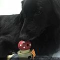 L'CHIC CA-TUMBLE不倒翁漏食玩具-紅蘑菇_200117_0007.jpg