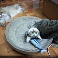 貓咪旺-貓薄荷大秋刀魚_191225_0002.jpg