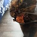 狩獵者主食貓罐-雞肉200g_200529_0019.jpg