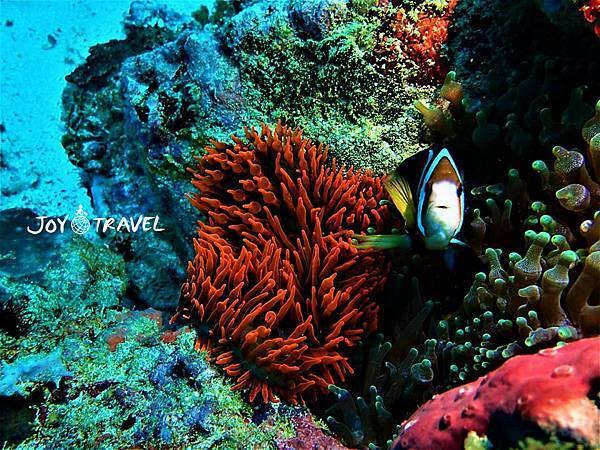 海葵魚 (2).JPG