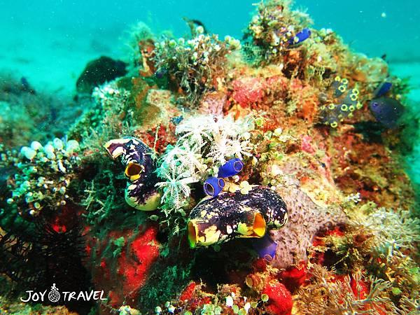 海鞘.jpg