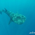 與鯨鯊共遊_180914_0011.jpg