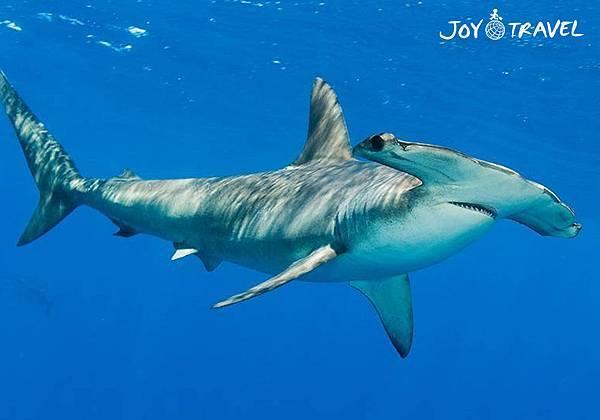 垂頭鯊.jpg