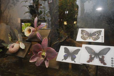 (蘭陽博物館)山之層展示的蘭花與蝴蝶.JPG