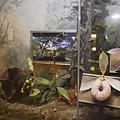(蘭陽博物館)山之層展示的飛鼠與蘭花.JPG
