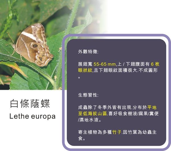 白條蔭蝶 - 1.jpg
