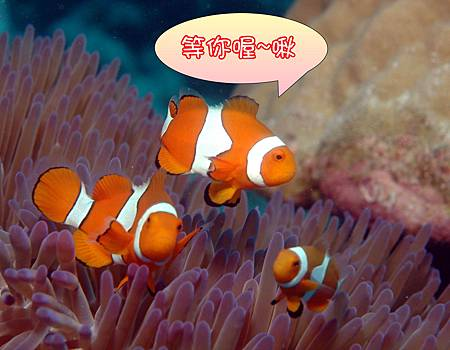anenomefish-false clown.JPG