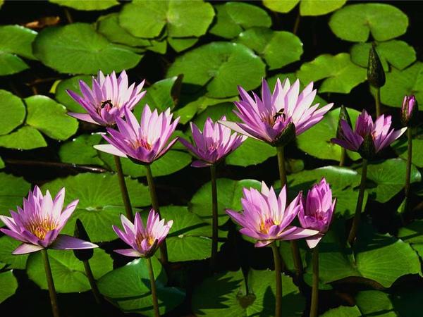 Water lilies.jpg