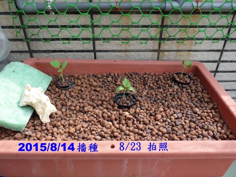 2015.8.14 播種的洋香瓜-A