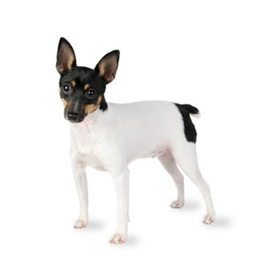 toy-fox-terrier.jpg