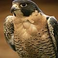 peregrine-falcon_659_600x450.jpg