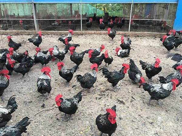 建菘養雞場2
