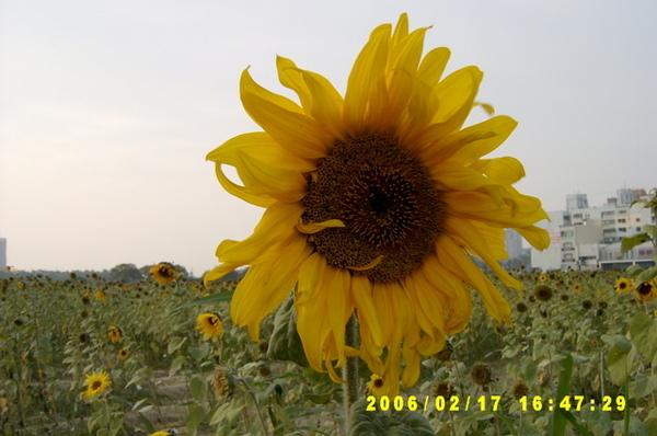 大大的向日葵
