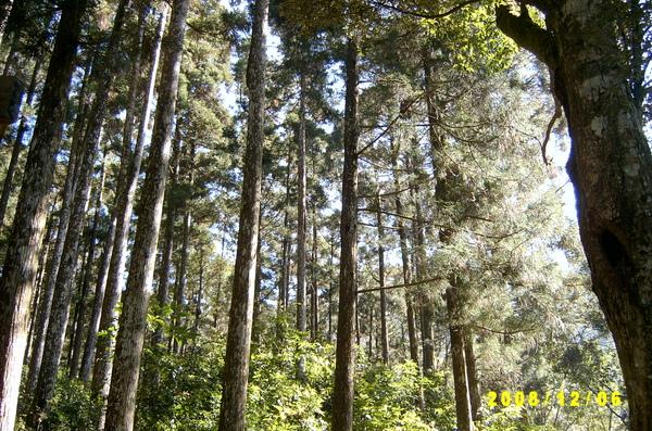 081201-藤枝-參天巨木.JPG