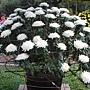 菊花-兼六白06-120朵.JPG