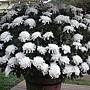 菊花-越山07-250朵.JPG