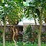 柚子 1020225 植物園.JPG