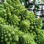 羅馬花椰菜 1040310_7.JPG