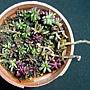 紫米飯 1040124.JPG