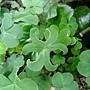 紫花酢漿草 1040225_3 中和區公所前公園.JPG