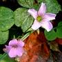 紫花酢漿草 1040317_1 廟美綠林小徑.JPG