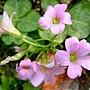紫花酢漿草 1040317_2 廟美綠林小徑.JPG