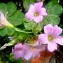 紫花酢漿草 1040317_3 廟美綠林小徑.JPG