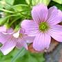 紫花酢漿草 1040317_4 廟美綠林小徑.JPG