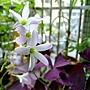 三角紫葉酢漿草 1040317_1.JPG