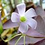 三角紫葉酢漿草 1040317_2.JPG