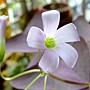 三角紫葉酢漿草 1040317_3.JPG