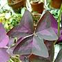 三角紫葉酢漿草 1040317_4.JPG