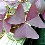 三角紫葉酢漿草 1040317_5.JPG