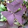 三角紫葉酢漿草 1040317_6.JPG