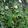 粉黃纓絨花 1031022_3 中和國小.JPG