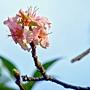 河津櫻 1031002_01 中和區公所前公園.jpg
