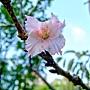 河津櫻 1031002_04 中和區公所前公園.jpg