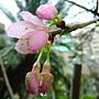 河津櫻 1040127_04 中和區公所前公園.JPG