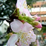 河津櫻 1040127_05 中和區公所前公園.JPG